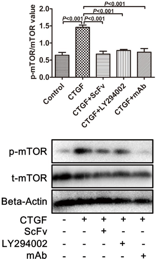 Expression levels of p-mTOR/mTOR in human ASM cells determined by Western blot analysis.The ratio was higher in cells co-cultured in CTGF (p<0.0001). The increase in the p-mTOR induced by CTGF was significantly inhibited when the cells were treated with scFv dimer, LY294002, or mAb (p<0.001). There was no significant difference between the scFv group and mAb group (p>0.05).