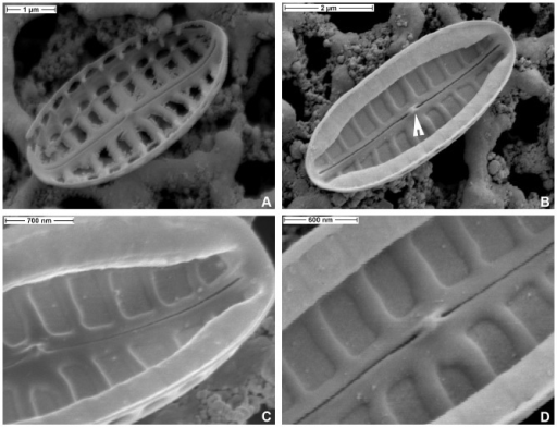 Biremis panamae sp. nov., SEM: internal valve views.A. Specimen with corroded chambers. B. An uneroded specimen with well preserved chambers; note the presence of a double helictoglossa (arrowhead) between the central raphe endings. C, D. Close up of the specimen illustrated in Fig. 6B: note the narrow elevated virgae, separated by depressed areolae.