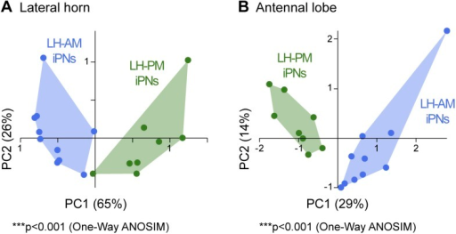 iPNs can be morphologically segregated according to their target and input region.(A) Principal component analysis based on the distances of the similarity scores of all terminal points of each individual iPN in the LH (for details see 'Materials and methods'). LH-AM iPNs (blue) and LH-PM iPNs (green) form significantly distinct clusters (***p < 0.001, One-Way ANOSIM, Bray–Curtis). (B) Principal component analysis based on the glomerular innervations of each individual iPN in the AL. Again, LH-AM iPNs (blue) and LH-PM iPNs (green) form significantly distinct clusters (***p < 0.001, One-Way ANOSIM, Bray–Curtis).DOI:http://dx.doi.org/10.7554/eLife.04147.011