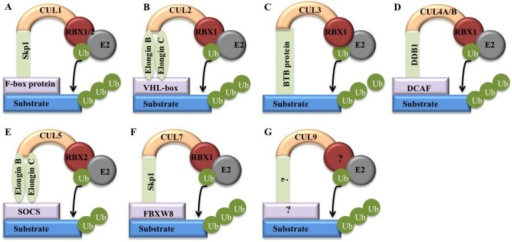 Models of cullin-RING E3 ligases. Cullin proteins recruit adaptor proteins (Skp1 for CUL1 and CUL7, Elongin B/C for CUL2 and CUL5, BTB protein for CUL3, and DDB1 for CUL4A and 4B), receptor proteins (F-box proteins for CUL1, VHL-box for CUL2, DCAFs for CUL4A and 4B, SOCS for CUL5, and FBXW8 for CUL7), and RING protein (RBX1/2) to form CRL E3 ligases that promote ubiquitin to transfer from RBX1/RBX2-bound E2 to a substrates 5. (A) CRL1; (B) CRL2; (C) CRL3; (D) CRL4; (E) CRL5; (F) CRL7; (G) CRL9.