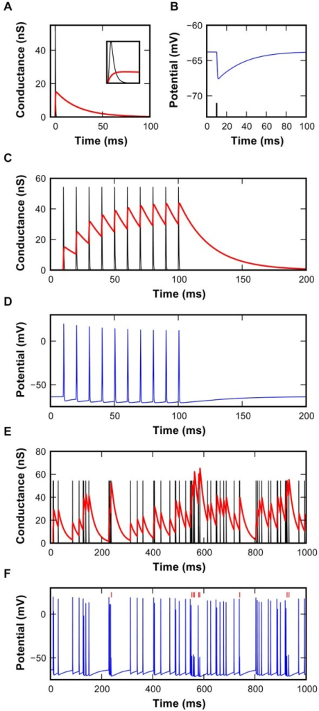 Characteristics of the inhibitory synapse model. (A) EPSG (black) and IPSG (red) waveforms used in the model. Inset shows magnification of the first 2 ms to reveal the rapid excitatory conductance. (B) Hyperpolarizing IPSP in the model resulting from the inhibitory conductance shown in (A), triggered by the spike shown as a black line. (C) EPSG and IPSG resulting from 10 repetitions at 100 Hz using a static inhibitory model. Note the buildup of inhibitory conductance. (D) Simulated membrane potential resulting from the interaction of synaptic conductances shown in (C). (E) EPSG and IPSG during random activations of synaptic mechanisms at the average rate of 62 ± 7 s−1. Inter-event intervals follow a shifted-exponential distribution. (F) Simulated membrane potential resulting from the interaction of synaptic conductances shown in (E). Failures identified by vertical red markers.