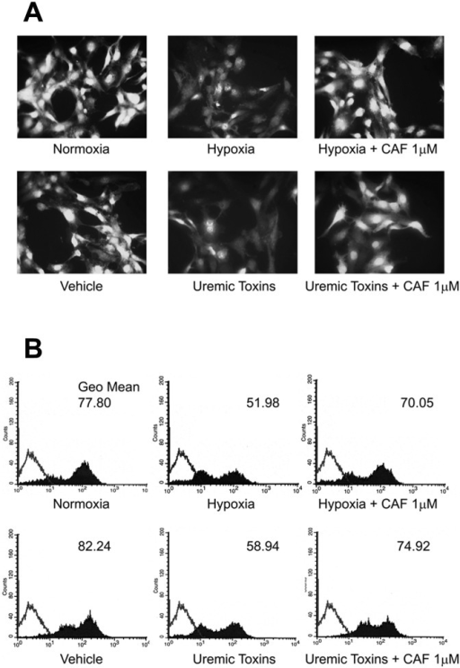 CAF increased NO production by HUVECs cultured in hypoxia or with uremic toxins.Representative fluorescence micrographs (A) and FACS analysis (B) of DAF-2DA probe on HUVECs cultured in hypoxia or with uremic toxins in presence or absence of CAF 1 μM. For immunofluorescence studies, magnification was x400; for FACS analysis, Kolmogorov-Smirnov statistical analysis was performed. For all assays, 5 independent experiments were performed with similar results.