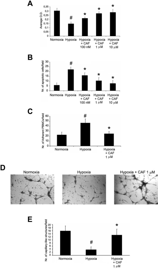CAF induced proliferation and resistance to apoptosis, decreased PBMC adhesion and triggered in vitro angiogenesis of hypoxic HUVECs.Proliferation (XTT-based assay in A), resistance to apoptosis (TUNEL assay in B), PBMC adhesion (C) and in vitro angiogenesis on Matrigel coated-plates (representative micrographs in D, count of capillary-like structures in E) of HUVECs cultured in hypoxia in presence or absence of CAF. Hypoxia reduced cell viability, increased apoptosis and PBMC adhesion and abrogated angiogenesis of HUVECs (#p < 0.05 Hypoxia vs. Normoxia). By contrast, increasing doses of CAF (100 nM, 1μM, 10μM) increased viability and resistance to apoptosis (*p < 0.05 Hypoxia + CAF 100 nM, 1μM or 10μM vs. Hypoxia), and a fixed dose of CAF 1μM decreased PBMC adhesion and triggered angiogenesis of hypoxic HUVECs (*p < 0.05 Hypoxia + CAF 1μM vs. Hypoxia). Results are expressed as average±1SD of 3 different experiments.