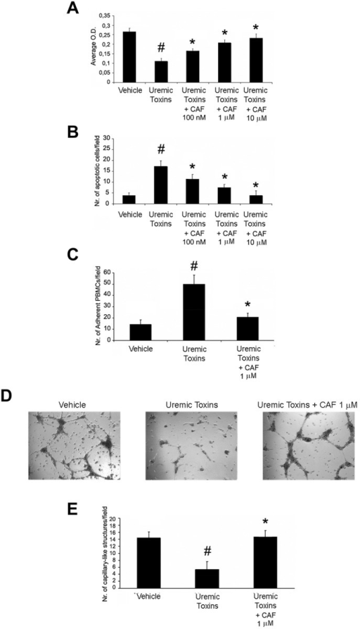 CAF induced proliferation and resistance to apoptosis, decreased PBMC adhesion and triggered in vitro angiogenesis of HUVECs cultured with uremic toxins.Proliferation (XTT-based assay in A), resistance to apoptosis (TUNEL assay in B), PBMC adhesion (C) and in vitro angiogenesis on Matrigel coated-plates (representative micrographs in D, count of capillary-like structures in E) of HUVECs cultured with the uremic toxins ADMA (10 μg/ml), p-cresyl sulfate (1 μg/ml) and indoxyl sulfate (10 μg/ml) in presence or absence of CAF. Uremic toxins reduced cell viability, increased apoptosis and PBMC adhesion and abrogated angiogenesis of HUVECs (#p < 0.05 Uremic Toxins vs. Vehicle). By contrast, increasing doses of CAF (100 nM, 1μM, 10μM) increased viabilty and resistance to apoptosis (*p < 0.05 Uremic Toxins + CAF 100 nM, 1μM or 10μM vs. Uremic Toxins), and a fixed dose of CAF 1μM decreased PBMC adhesion and triggered angiogenesis of uremic toxin-treated HUVECs (*p < 0.05 Uremic Toxins + CAF 1μM vs. Uremic Toxins). Results are expressed as average±1SD of 3 different experiments.