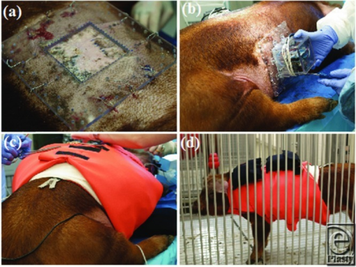 Mounting and protecting the pressure delivery system. Base mounting with sternal wire suture (a). automated pressure delivery system mounting to Plexiglass base (b). Neoprene vest application following dressings (c). Animal recovery and housing (d).
