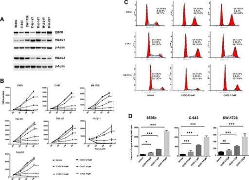 CUDC-101 inhibits ATC cell proliferation, and induces cell cycle arrest and apoptosis(A) Basal expression of HDAC1, HDAC2 and EGFR in ATC cell lines. (B) Cell proliferation assay. Error bars are mean ± SD. (C) Cell cycle analysis after 24 hours of treatment. (D) The Caspase-Glo 3/7 assay after 48 hours of treatment with CUDC-101. *p < 0.05, **p < 0.01, ***p < 0.001. NS, no significant difference.