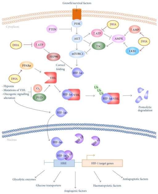 Schematic illustration of the mechanism by which DHA may interfere with the molecular signalling by activating glycolytic phenotype. The PI3K-Akt-mTORC1 pathway promotes the glycolytic phenotype, principally activating the transcription factor HIF-1α. HIF-1α is activated also by hypoxia, as well as by mutations of its regulator VHL. The accumulation of HIF-1α in the cytosol determines its heterodimerization with the subunit HIF-1β, forming the active HIF-1 complex. HIF-1 upregulates a wide network of genes by binding to hypoxia response elements (HRE). DHA interferes at various sites of this pathway, and then it is able to attenuate bioenergetic function and Warburg metabolism. DHA treatment increases the LKB1 protein expression and AMP cytosolic levels, necessary events to activate the AMPK pathway. Active AMPK inhibits mTORC1 signalling, via phosphorylation of TSC protein. Moreover, DHA alters cancer cell metabolism by interfering with the processes implicated in the stabilization of HIF-1α. Indeed, the reduction of cytosolic ATP levels induced by DHA prevents the proper functioning of HSP90, molecular chaperon necessary for folding of HIF-1α. Moreover, DHA destabilizes HIF-1α promoting its proteolytic degradation via PPARα activation.