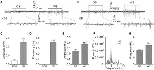 The activity patterns of barrel cortical neurons in response to OS and WS from CR-formation mice and controls. Neuronal activities were recorded by LFP in vivo. (A) Top trace shows that the neurons in the barrel cortex from a NCG mouse do not respond to OS (left horizontal bar), but respond to WS (right). Calibration bars for this trace are 0.4 mV and 10 s. Bottom traces illustarte the expanded waveforms from the fragments of no response to OS (left) and of response to WS (right). Calibration bars for these traces are 0.3 mV and 4 s. (B) Top trace shows that the neurons in the barrel cortex from a CR-formation mouse respond to OS (left horizontal bar) and WS (right). Calibration bars for this trace are 0.4 mV and 10 s. Bottom traces show the expanded waveforms from the fragments of responses to OS (left) and WS (right). LFP amplitude and frequency appear different. Calibration bars for these traces are 0.3 mV and 4 s. (C,D) Show LFP amplitudes (C) and frequencies (D) in response to OS, which are recorded in the barrel cortex from NCG mice (white bar; n = 9) and CR-formation mice (gray; p < 0.001, n = 9; One-Way ANOVA). (E) Shows LFP amplitudes recorded from the barrel cortex of CR-formation mice in response to WS and OS (p < 0.001, n = 9; One-Way ANOVA). (F) Illustrates the power-spectrum of LFP frequency in the barrel cortex of CR-formation mice in response to WS (dash line) and OS (solid line). (G) Shows LFP frequency recorded in the barrel cortex of CR-formation mice in response to WS and OS (p < 0.001, n = 9; One-Way ANOVA). ***p < 0.001.