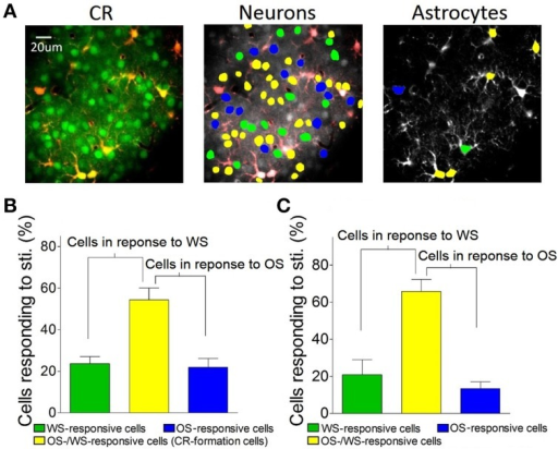 The barrel cortex recognizes whisker and olfaction inputs via organizing different neurons in their responses. (A) Shows Ca2+ imaging in neurons (greens in left panel) and astrocytes (red). The neurons (middle) and astrocytes (right) in response to both OS and WS are labeled as yellow, OS only as blue, or WS only as green. (B) Shows the percentages of WS-responsive neurons (green bar), OS/WS-responsive neurons (yellow), and OS-responsive neurons (blue) from CR-formation mice (n = 5). (C) Illustrates the percentages of WS-responsive astrocytes (green bar), OS/WS-responsive astrocytes (yellow), and OS-responsive astrocytes (blue) from CR-formation mice (n = 5). WS-responsive and OS/WS-responsive cells work together to recognize whisker signal. OS-responsive and OS/WS-responsive cells work together to recognize odor signal.
