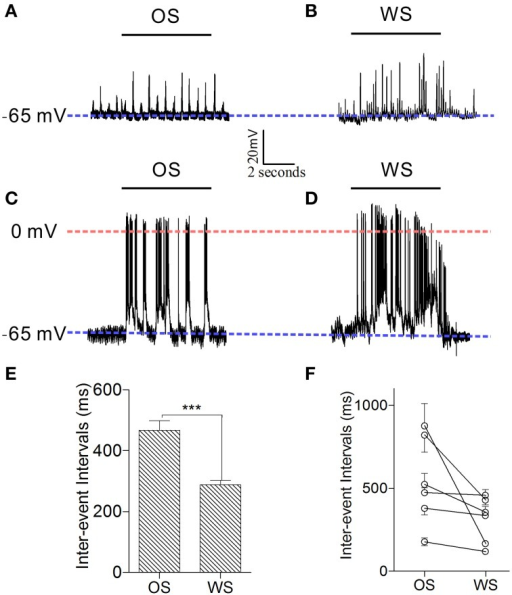 Individual neurons in the barrel cortex can recognize OS and WS from CR-formation mice by encoding their activity patterns. Neuronal activities were recorded by intracellular recording. (A,B) Show that a neuron responds to OS (horizontal bar in A) and WS (horizontal bar in B) with different synaptic integrated events. Blue dash-line illustrates resting membrane potential (−65 mV) for this neuron. (C,D) Illustrate that a neuron responds to OS (horizontal bar in C) and WS (horizontal bar in D) with different spike patterns. Blue dash-line shows resting membrane potential (−65 mV) for this neuron, and red dash-line shows a zero membrane potential for indicating the overshot of action potentials. Calibration bars are 20 mV/2 s. (E) Shows the averaged inter-event intervals from neurons in response to OS and WS (n = 6, p < 0.001; One-Way ANOVA). (F) Shows inter-event intervals from each of six neurons that respond to OS and WS. ***p < 0.001.