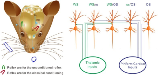 The neurons in the barrel cortex are reorganized after associative learning. (Left) Shows a mouse brain including reflex arcs for whisker-induced whisker motion (unconditioned reflex; blue arrow) and odorant-induced whisker motion (cross-modal reflex; red arrow) after WS/OS-pairing. Associative learning induces the connection between the barrel and piriform cortices, which allows the formation of cross-modal reflex. Afferent pathways (blue dot lines) and efferent pathway (red dash-dot) in the reflex arc are showed under the cerebral cortex. The connections from the barrel cortex (BC) to piriform cortex (PC) and from BC to the motor cortex (M) in the center of the reflex arc are presented as solid blue lines. (Right) Shows barrel cortical neurons that are recruited and refined as WS/OS-responsive neurons (three neurons in the middle), receive the axonal innervations from the thalamus and piriform cortex, and encode WS and OS, i.e., associative memory neurons. Left-middle neuron receives the thalamic input and responds to WS dominantly. Right-middle neuron receives the piriform cortical input and responds to OS dominantly. Middle neuron receives the thalamic and piriform inputs and responds to WS and OS equally. Moreover, some neurons receive thalamic input naturally and respond to WS only (left), whereas some neurons receive piriform cortical input after associative learning and respond to OS only (right). These OS-responsive cells for cross-modal memory fall into the category of new signal memory cells. Based on the different responses of individual neurons to WS and OS and the different organizations of responsive neurons, the barrel cortex becomes able to fulfill the associative storages and distinguishable retrievals of the newly acquired odor signal and the innate whisker signal.