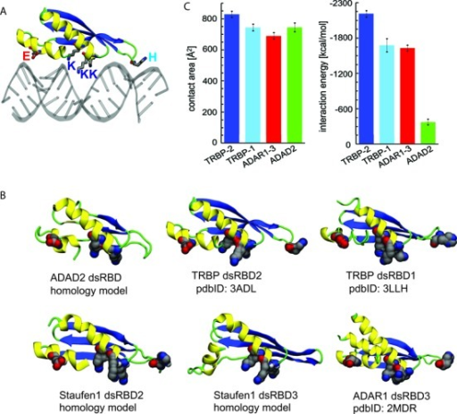 Interactions between dsRNA and individual dsRBDs. (A) Canonical binding mode between dsRNA and one dsRBD. The binding mode is shown for TRBP dsRBD2 and dsRNA, based on the crystal structure (pdbID 3ADL). RNA is shown in gray and protein is colored according to secondary structure, where helices are shown in yellow, beta strands in blue, and coils/turns in green. The conserved amino acids (H, E, K) crucial for binding to dsRNA are shown in van der Waals representation, with atoms colored in gray (C), red (O) and blue (N). (B) Selected individual dsRBDs of the studied proteins. The structures shown are either crystal structures (labeled with pdbIDs) or homology models (described in 'Materials and Methods' section). The coloring scheme for proteins is as in (A). The conserved amino acids crucial for binding to dsRNA are here shown in vdW representation. (C) Average contact areas and interaction energies between dsRNA and four selected dsRBDs. The shown values were averaged over the last 35 ns (ADAD2, ADAR1–3) or 85 ns (TRBP dsRBDs) of trajectories, collected after the initial 15 ns-long relaxation.
