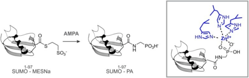 SUMO-PA and Ub-PA synthesis.DOI:http://dx.doi.org/10.7554/eLife.06763.044