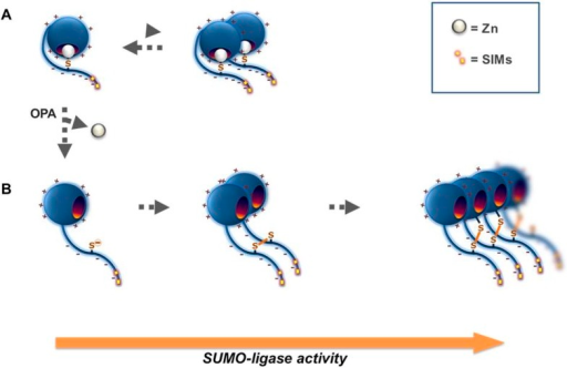 Proposed mechanism for Wss1 SUMO-ligase activity.(A) Wss1 protein has a positively charged N-terminal WLM domain and negatively charged C-terminal extension that contains two SIMs and conserved cysteine C226. This cysteine may be linked to the active site Zn counteracts, the interaction facilitated by charge interaction of the two protein parts. Wss1 E3-like ligase activity (Figure 2A,B) results from the juxtaposition of an E2∼SUMO thiol ester and an acceptor SUMO due to SUMO binding by two carboxy-terminal SIMs. The tendency of Wss1 to form oligomers further promotes Wss1-dependent sumoylation by multiplying SUMO binding sites. (B) Extraction of the active site Zn by o-Phenanthroline (OPA) release the cysteine 226, which is prone to produce intermolecular disulfide crosslinks with its homolog (forming Wss1 dimer) or one of the two cysteines localized in the WLM domain (forming Wss1 oligomers). Multiplication of the SIMs in Wss1 oligomers further promotes SUMO ligase activity.DOI:http://dx.doi.org/10.7554/eLife.06763.013
