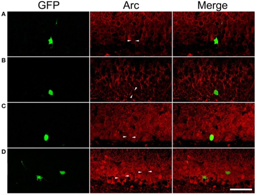 Arc immunoreactivity in newborn granule cells of control and SE rats with or without pentylenetetrazol (PTZ) treatment. Each GFP-labeled cell is indicated by two arrowheads in the middle panel. The scale bar (50 μm) applies to all panels. Note that Arc immunoreactivity in GFP-labeled cells is indistinguishable from surrounding granule cells in the same section. (A) In a PTZ-untreated control rat, Arc immunoreactivity is faint in the soma and dendrites of granule cells. (B) In a PTZ-untreated SE rat, Arc immunoreactivity became denser in the soma and apical dendrites of granule cells than that in PTZ-untreated controls, but the intensity of Arc immunoreactivity in the GFP-labeled cell is clearly indifferent from cells surrounding it. (C) Treatment with PTZ in a control rat increased Arc immunoreactivity in both the soma and apical dendrites of granule cells, including the GFP-labeled one. (D) Treatment with PTZ in an SE rat also increased Arc immunoreactivity in granule cells. However, Arc immunoreactivity in the GFP-labeled cell is similar to the vicinal granule cells unlabeled by GFP.