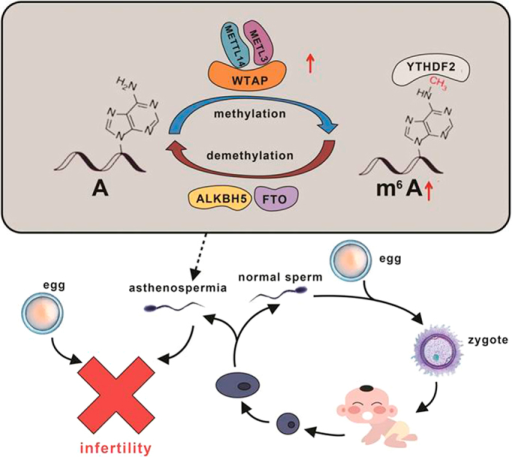 A process of the dynamic m6A modification in asthenozoospermia.Increased mRNA expression of METTL3 and METTL14 contributes to the elevation of m6A content which affects sperm motility and further results in male infertility.