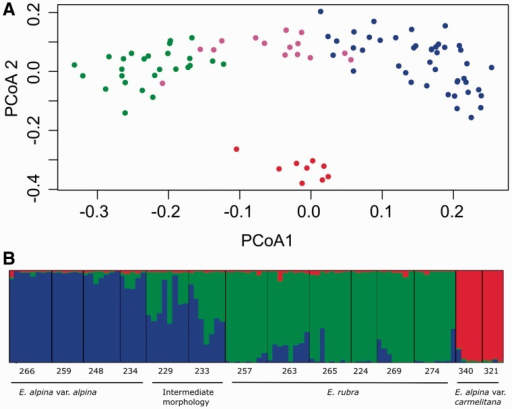 (A) PCoA of AFLP among 94 Escallonia individuals. The first 2 axes represented in the figure explain 18.65 and 10 % of total variability. Colours indicate groups according to taxonomy: red: E. alpina var. carmelitana; green: E. rubra; blue: E. alpina var. alpina; fuchsia: IM. (B) Genetic structure inferred from bayesian analysis using STRUCTURE software; bars represent the proportion of individuals assigned to each of three genetic clusters (K = 3).