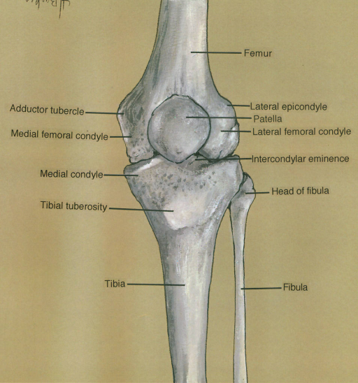 adductor tubercle; medial femoral condyle; medial condyle; tibial tuberosity; tibia; femur; lateral epicondyle; patella; lateral femoral condyle; intercondylar eminence; fibula