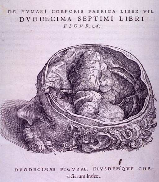 <p>The occipital cavity within the base of the skull, lateral view.</p>