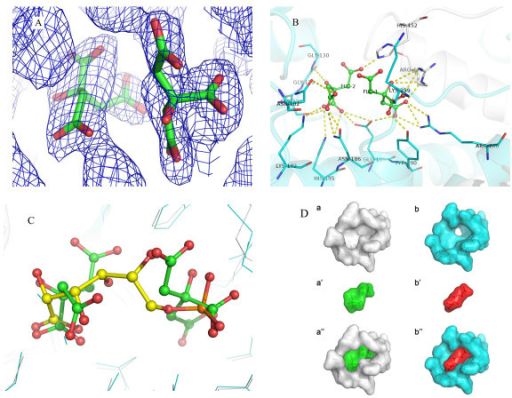 "The binding mode of the two citrate molecules. (A) Electron density of the two citrate molecules FLC1 and FLC2 (2Fo-Fc map contoured at 1.2 σ). (B) A closer look of the conserved residues binding to the two citrate molecules. The C terminal tail of chain B is colored in grey, and chain A in cyan. (C) Superimposed structures of Gnd1 (in cyan) with sheep liver 6PGDH (PDB code: 1PGP; colored in grey). The two citrate molecules (shown in sticks) are superimposed on one molecule of 6PG (shown in sticks) of 1PGP. (D) The surface comparison between yeast Gnd1 bound to two citrate molecules (a, a' and a"") and sheep liver 6PGDH monomer bound to 6PG (b, b' and b""). The monomer omitting the bound ligand, the ligand and the complex are shown in a/b, a'/b' and a""/b"", respectively."