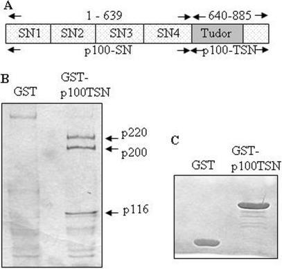 Interaction between p100 protein and U5 snRNP specific proteins. (A) The schematic structure of p100 protein (B) Pulldown of U5 specific proteins using TSN domain of p100. Aliquots of nuclear lysates from HeLa cells were incubated with either GST alone or with GST-p100-TSN. The bound proteins were subjected to SDS–PAGE and visualized by Coomassie blue or silver staining and identified by mass spectrometry. (C) The loading control of GST and GST-p100-TSN proteins.