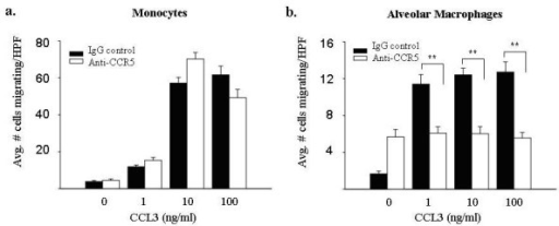 Blocking antibodies to CCR5 decrease CCL3-induced chemotaxis in alveolar macrophages, but not fresh monocytes. Freshly isolated monocytes and alveolar macrophages (4.5 × 104/condition) were pre-incubated with 1 μg/ml CCR5 blocking antibodies and subjected to a migration assay using CCL3 (1–100 ng/ml) as the chemoattractant. The addition of anti-CCR5 antibodies did not significantly alter monocyte chemotaxis (left panel) at any concentration of CCL3 compared to the IgG control (p > 0.05 at all concentrations). In contrast, the addition of anti-CCR5 antibodies decreased CCL3-induced alveolar macrophage chemotaxis (right panel) at all tested concentrations of CCL3 (**p < 0.001). Results represent mean ± SEM for three independent studies.