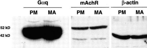 Western blot analysis of Gαq and mAchR in PM and MA muscle. Protein extracts from ED13 PM and MA muscles were prepared, electrophoresed, and blotted as described in Materials and methods. Blots were incubated with Gαq, mAchR, and β-actin–specific antibodies and HRP-conjugated secondary antibodies. Proteins were visualized by chemiluminescence. Both PM and MA contain readily detectable amounts of Gαq and mAchR. Equal amounts (100 μg) of PM and MA extracts were loaded as determined by BCA protein assays and detection of β-actin.