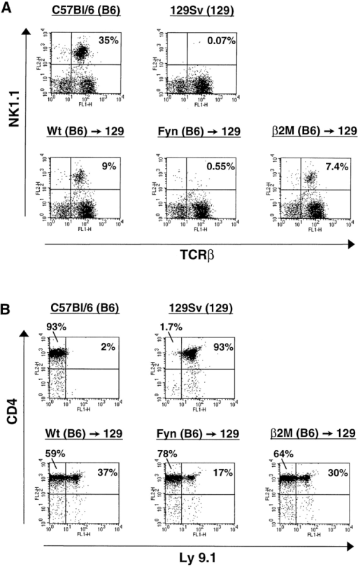 The fyn mutation may function in a cell-autonomous manner during NK T cell development. Irradiated mice were injected with a mix of wild-type 129Sv (NK1.1−; Ly9.1+) and wild-type or mutant C57Bl/6 (NK1.1+; Ly9.1−) derived bone marrow. (A) Reconstitution of NK T cells in the thymus by the different bone marrows was assessed by flow cytometry as in Fig. 2. NK T cells developed from wild-type (Wt) and β2M mutant bone marrow, but not fyn mutant bone marrow. (B) The relative contribution of 129Sv- and C57Bl/6-derived lymphoid cells in the thymus was determined by comparing Ly9.1 expression on CD4+ thymocytes by flow cytometry. All the radiation chimeras contain a mix of CD4+ thymocytes derived from the two strains. The data presented are representative of two independent experiments (chimeras: wild-type, n = 7; Fyn, n = 7; β2M, n = 4).