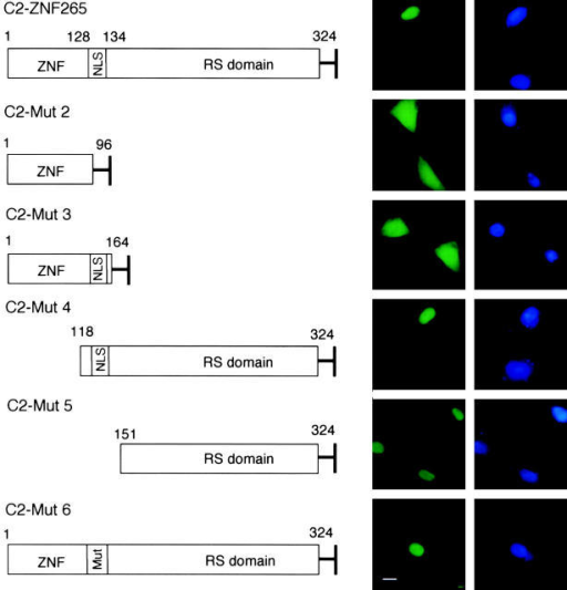 Role of the RS domain of ZNF265 in nuclear localization. (Left) EGFP fusion protein constructs used for the expression of ZNF265. Wild-type ZNF265 sequence (1st row) and 5 mutant sequences (2nd–6th row) were used. (Right) EGFP fluorescence (green) and DAPI (blue) detection in HT-1080 cells at 48 h posttransfection. Bar, 10 μm.