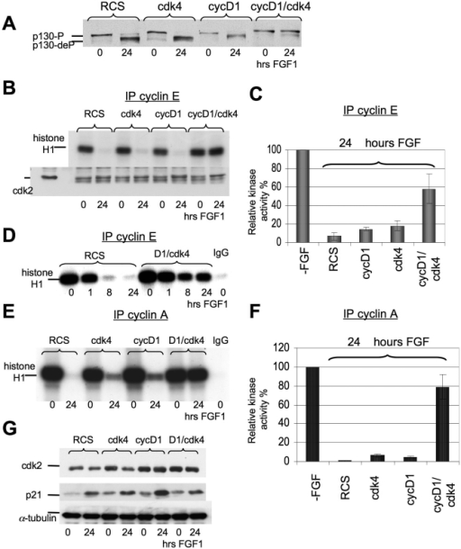Effect of cyclin D1/cdk4 overexpression on p130 phosphorylation and cyclin E/cdk2 and cyclin A/cdk 2 kinase activities.Parental RCS, cyclin D1, cdk4 or cyclin D1/cdk4 cell lines were treated with FGF1 for the indicated times. (A) p130 dephosphorylation is prevented in cyclin D1/cdk4 expressed cells. 100 µg of total protein was analyzed by SDA-PAGE followed by immunoblotting with anti p130-antibodies. (B, D, E) Kinase activity of immunoprecipitated cyclin E/cdk2 and cyclin A/cdk 2 complexes as assayed in vitro. The cyclin E/cdk2 and cyclin A/cdk 2 complexes were isolated using anti-cyclin E and anti-cyclin A antibodies and histone H1 was used as a substrate. Antibody to mouse IgG was used as negative control. Equal amount of protein loading was confirmed by immunodetection of cdk 2 in immunoprecipitated complexes. (C, F) Summary of results from 3 independent experiments depicting relative levels of cyclinE/cdk2 and cyclin A/cdk2 activities upon FGF treatment in different cell lines. (G) 20 µg of total protein were analyzed by WB, with antibodies against cdk2 or p21. Equal amount of protein loading was confirmed by α-tubulin immunodetection.