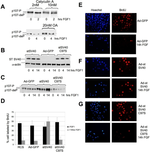 FGF-induced dephosphorylation of p107 is prevented by protein phosphatase inhibitors and by SV40 small t-antigen (st SV40).(A) RCS cells were pretreated with either okadaic acid (OA) or Calyculin A 2 hours before FGF treatment. 20 µg of total protein were subjected to SDS-PAGE following inmmunodetection of p107. (B–G) RCS cells were infected with adenoviruses expressing GFP, st SV40 or st SV40 mutant C97S following FGF1 treatment as indicated. (B,C) 20 µg of total protein were used for immmunodetection of (B) st SV40 and (C) p107. Equal amount of protein loading was confirmed by α-actin immunodetection. (D–G) BrdU incorporation assay of FGF treated or untreated RCS cells expressing either GFP, st SV40, or st SV40 C97S mutant. BrdU was detected by using BrdU antibodies (red). Nuclei were stained with DAPI (blue). (D) Summary of results in panels E–G.