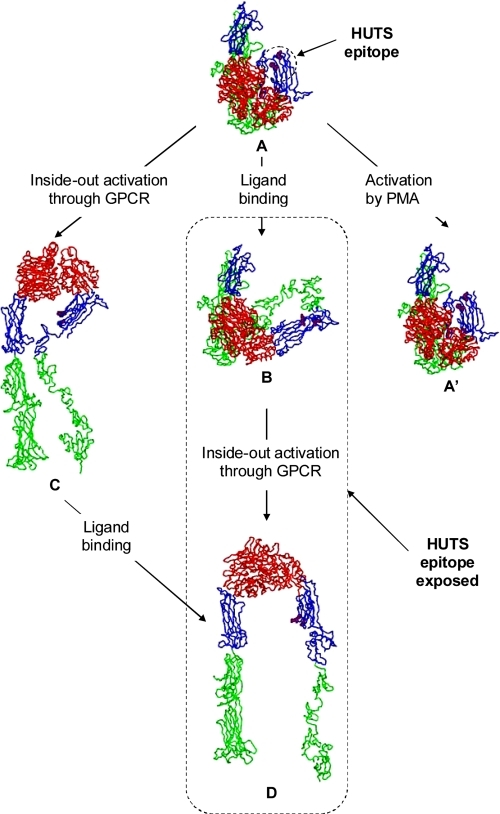 "Model of integrin conformations. Three-dimensional structures for VLA-4 multiple conformational states have been generated as described under ""Experimental Procedures"" by combining the integrin structural information existent in Protein Data Bank and relevant literature data (21, 22). The integrin head is colored in red, the ""upper legs"" are in blue, and the ""lower legs"" are in green. In the model Ser370, Glu371, and Lys417, which represent HUTS epitope (34), are shown by purple space fill. The VLA-4 bent closed conformation is modeled based on crystal structure of αVβ3 integrin (structure A). Structure A represents a bent low affinity state (resting state), having the HUTS-21 epitope unexposed (purple spheres). As in the template, the N termini of α and β subunits are set into an ovoid-like arrangement from which two parallel tails come out. Because the crystal structure does not offer any structural information regarding EGF-domains, no EGF domains are shown on A and A′ (see the ""Experimental Procedures"" for details). The conformational change induced by the occupancy of the ligand pocket (structure B) was modeled in two steps. First, the β1 structure built based on the β3 open headpiece was translated into the structure A coordinate system. By overlapping the 1L5G (closed bent conformation) and 1TXV (open conformation) structures, we found that the distance between C termini domains of α and β subunits is ∼15 Å, and the distance between α and β ""knees"" is ∼70 Å. These constraints were used to build the bent open conformation of VLA-4 (structure B). This structure has the outward swing of the hybrid domain, which causes the exposure of HUTS-21 epitope and represents the low affinity state of the integrin. The unbent conformation with closed and open headpiece (structure C and D, respectively) have been obtained by adjusting the torsion angles at the knees of α4 and β1 subunits in A and B structures. In these operations the upper and lower legs of each subunit were considered as two rigid systems. All final conformations have been minimized with the Biopolymer module from Sybyl (SYBYL 7.3, Tripos International)."
