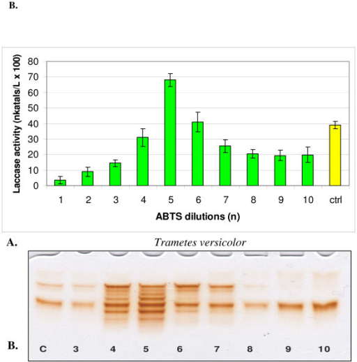 Changes in the activity (A) and isozymic patterns (B) of extracellular laccase in media of Trametes versicolor cultivated 14 days with 10 dilutions of ABTS. On PAGE slab (B) the dilutions No 1 and 2 was omitted; c (ctrl) - control. PAGE slab stained with guaiacol.