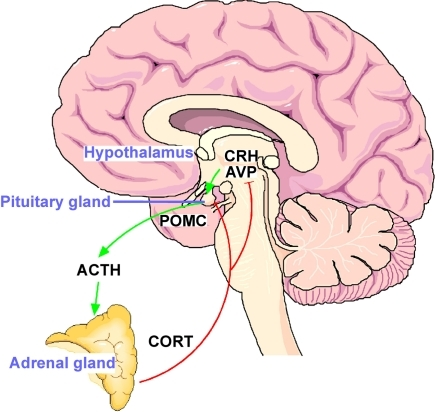 How To Cure Adrenal Gland Naturally