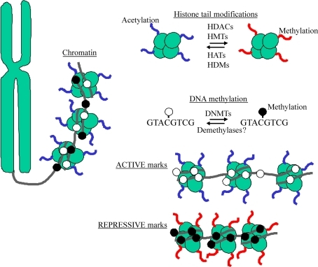 "DNA wraps around histones to form a complex referred to as chromatin. The N-terminal tails of histones serve as sites for epigenetic marking by acetylation and methylation via chromatin remodeling enzymes (e.g., HDACs, HATs, HMTs, and HDMs). DNA methylation refers to the chemical transfer of methyl groups to CpG acceptor sites through a class of enzymes known DNA methyltransferases (DNMTs). Active marks (e.g., histone acetylation and DNA hypomethylation) characterize ""open"" chromatin, while repressive marks (e.g., histone methylation and DNA hypermethylation) occur at ""closed"" chromatin."