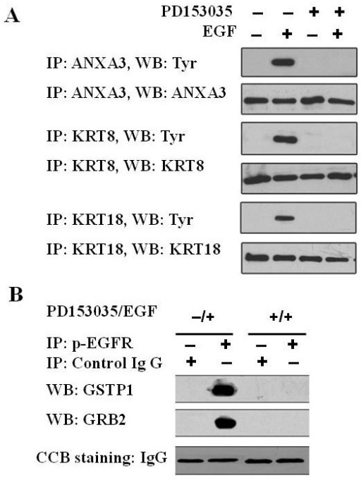 Validation of EGFR-regulated phosphoproteins by IP-Western blotting. A, IP-Western blotting analysis showing that EGF induces phosphorylation of three identified proteins (ANXA3, KRT8 and KRT18). Try, anti-phosphotyrosine antibody B, IP-Western blotting analysis showing that phospho-EGFR interacts with GSTP1 and GRB2. CBB gel staining serves as loading control (IgG heavy chain).