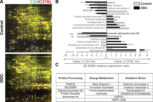 Proteomic comparison of C3H and C57BL mouse livers before and after DDC treatment by 2D DIGE analysis and classification of differentially expressed proteins into function-based groups. (A) Liver homogenates were prepared from untreated mice (Control) or mice fed a DDC-containing diet for 3 mo. The liver proteins from the C3H and C57BL mice were labeled with the fluorescent dyes Cy3 (green) and Cy5 (red), respectively. The circled spots indicate differentially expressed proteins that were selected for identification by MS. (B) From an initial analysis of 80 selected gel spots, proteins that were identified as having significant expression differences (ratio greater than two) between the two mouse strains under basal conditions or after DDC treatment are shown. Note that PRDX6 is represented twice, reflecting the acidic and basic forms of the protein. (C) The proteins shown in B were classified into three groups based on their known functional properties.
