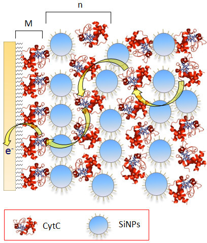 Schematic representation of the SiNPs/cyt c multilayer architecture. Schematic representation of an SiNPs/cyt c multilayer assembly prepared on a monolayer electrode (M). Layer structure [SiNPs/cyt c]n (n = 1, 2, 3, 4). Yellow arrows indicate the direct electron transfer between the cyt c molecules and onto the electrode.