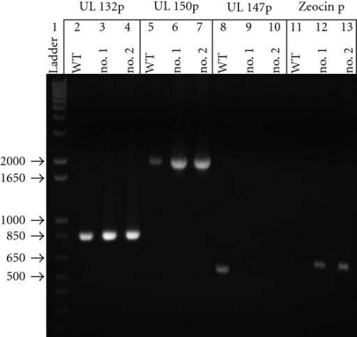 1% Agarose gel electrophoresis of targeted amplification reactions in WT Toledo BAC (WT) and two pUC-19-IV capture plasmids. Lane 1: 1 kb Plus DNA Ladder. Lanes 2–4: amplification of UL 132 (~850 bases) with UL 132 F and R primers. Lanes 5–7: amplification of UL 150 (~1.9 kb) with UL 150 F and R primers. Lanes 8–10: amplification of UL 147 (negative control, not within region IV) (~500 bases) with UL 147 F and R primers. Lanes 11–13: amplification of zeocin marker (positive control for capture only) (~550 bases) with Zeocin F and R primers.