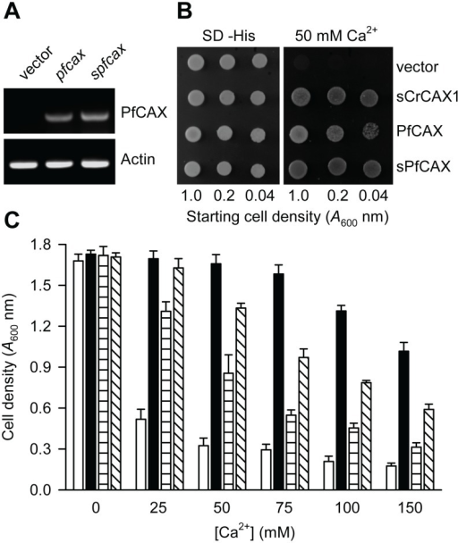 Ca2+ tolerance of yeast mediated by PfCAX.(A) RT-PCR analysis of pfcax and spfcax expression in yeast compared with yeast transformed with the empty vector control. (B) Saturated liquid cultures of K665 (pmc1 vcx1) yeast transformed with pfcax in piHGpd, N-terminally truncated spfcax in piHGpd, scrcax1 in piHGpd and empty vector alone were serially diluted to the cell densities as indicated, then spotted onto selection medium lacking histidine (SD –His) and YPD medium containing 50 mM CaCl2. Yeast growth at 30°C is shown after 4 days. A representative experiment is shown. (C) K665 yeast transformed with the various plasmids described in (B) were diluted to a cell density of 0.5 A600 nm and inoculated into YPD medium containing concentrations of CaCl2 from 25 to 150 mM. Yeast cell density was determined by absorbance measurements at 600 nm following growth shaking at 30°C for 16 h. Bars represent the mean ± SEM of 4 independent experiments (each with 8–12 replicates). Vector only, open bars; sCrCAX, closed bars; PfCAX, horizontally lined bars; sPfCAX, diagonally lined bars.