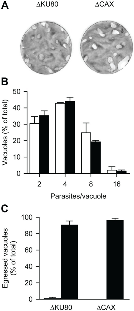 Essentiality of TgCAX in T. gondii tachyzoites.(A) Plaque assays were performed by incubating host cells with ΔKU80 and ΔCAX parasite strains for 7 days. (B) For the intracellular growth assay, ΔKU80 (open bars) and ΔCAX (closed bars) parasites were grown in host cells for 24 h and then the number of parasites per vacuole was determined. Bars represent the mean ± SEM of 3 independent experiments (each with 2 replicates). (C) For the ionophore-induced egress assay, parasites were cultured for 30 h before treatment with DMSO (open bars) or Ca2+-ionophore A23187 (3 µM; closed bars) for 5 min. The results are expressed as a percentage of ruptured vacuoles. Bars represent the mean ± SEM of at least 2 independent experiments.