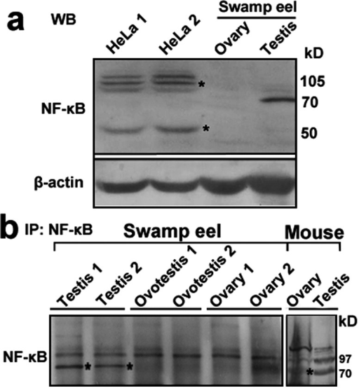 Western blot analysis of unknown testis-enriched protein in mouse and swamp eel.a. Western blot analysis using anti-NF-kB1 antibody in HeLa cells and the swamp eels showed two bands: 50kD (P50) and 105kD (P105) (stars denote the bands) in HeLa cells (two repeat samples), while only a dominant 70 KD band in testis of the swamp eel. β-actin protein was used as an internal control. Molecular weight sizes for proteins were shown on the right. b. Immunoprecipitation using anti-NF-kB1 antibody enriched the unknown testis-enriched protein in the swamp eel and mouse. Testis samples showed more obvious band of 70 kD in the swamp eel and mouse. Stars denote the band.