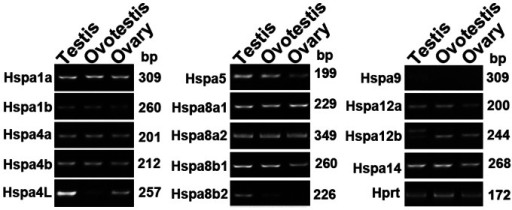RT-PCR analysis of Hsp70 gene expression in gonad samples of the swamp eel.Most of the Hsp70 family genes were expressed equally in different types of gonads except Hspa4L, Hspa5, Hspa8b2, Hspa9 and Hspa12a. Hspa8b2 was expressed differentially among testis, ovotestis and ovary. Hprt was used as an internal control. Length sizes of amplified products were shown on the right.