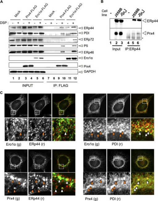 "Prx4 and Ero1α share similar partners and subcellular localizations.A, 24 h after transfection with pcDNA3.1, Prx4-FLAG, or Ero1α-FLAG, 106 HeLa cells were incubated with or without 0.25 μm dithiobis succinimidyl propionate (DSP) on ice. Anti-FLAG immunoprecipitates (IP) were then eluted by FLAG peptides and analyzed by Western blot with the indicated antibodies. Aliquots of the total Nonidet P-40 lysates from 104 cells (INPUT) were loaded to estimate (co)-immunoprecipitation efficiency. B, lysates from 107 mouse myeloma J558L cells or their derivative expressing nitrophenol-specific secretory Ig-μ chains (J[μs]) were immunoprecipitated with anti-ERp44 and analyzed by Western blot with the indicated antibodies. The slightly more abundant Prx4 associated to ERp44 in J[μs] cells may reflect physiological interactions in the presence of an abundant substrate (7). C, HeLa cells were fixed by 4% paraformaldehyde and permeabilized by 0.2% Triton X-100. Co-localization of Prx4 or Ero1α with PDI or ERp44 was observed by immunofluorescence using the indicated fluorochrome-conjugated antibodies, as described under ""Experimental Procedures."" g, green. r, red."