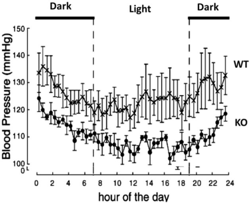 Prepro-orexin knockout mice have lower blood pressures throughout the circadian cycle. The knockout mice have lower blood pressure in both the light and dark periods of the diurnal cycle relative to the wild type control mice. Filled circles: KO mice; crosses: WT mice. (Figure used with permission from Kayaba et al., 2003).