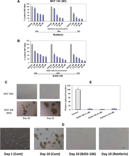 Effects of PKCδ inhibitors on growth and spheroid formation in non-transformed and transformed human breast epithelial cells. MCF 10A cells and cells from the derived tumorigenic line MCF 10C (also called M3), were grown to 80% confluence in 96-well plates and then exposed to rottlerin at concentrations ranging from 1 to 20 μM (A) or to BJE6-106 at concentrations ranging from 0.1 to 20 μM (B). The corresponding equivalent volume of solvent (DMSO) was used as a vehicle control (Vehicle). After 24, 48 and 72 hr of exposure, cell mass was evaluated by MTT assay. Control (vehicle) values were normalized to 100%. Error bars represent SEM. p values for comparison between vehicle and PKCδ inhibitors on MCF 10A cell number only reached significance (p < 0.05) at 48 hr at 20 μM for rottlerin, and at 1 μM for BJE6-106. In contrast, significant effects of the inhibitors on the MCF 10C cells were observed as early as 24 hr for rottlerin (at 5 μM) and for BJE6-106 (at 0.1 μM). (C) MCF 10A and MCF 10C cells were plated at 10,000 cells per well in tumor spheroid media, and spheroid formation was assessed at days 10 and 21. Representative photographs are shown. (D) MCF 10C cells were plated at 10,000 cells per well in tumor spheroid media, in the presence of rottlerin (5 μM), or BJE6-106 (1 μM or 5 μM), or DMSO vehicle (Control). Tumor spheroids were enumerated at 10 days. Representative photographs are shown. (E) Spheroid numbers were normalized to the number of spheroids in the control cultures (assigned an arbitrary value of 100%) and plotted. Error bars represent SEM. p values for comparison between vehicle and rottlerin or BJE6-106 effects on spheroid number were significant (p < 0.001).