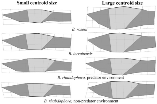 Morphological Divergence in Male Brachyrhaphis.Visualization of morphological divergence with centroid size in male Brachyrhaphis roseni (a), B. terrabensis (b), and B. rhabdophora from predator (c) and predator free (d) environments. Thin-plate spline transformations depict the end points of the centroid size axis (i.e. the smallest and largest individuals). Shaded regions are drawn to aid in interpretation. Note the shortening and deepening of the head region and the reduction in the caudle peduncle region in large males. Deformations are scaled to 3X to assist interpretation of the shape differences.