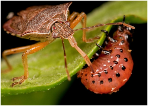 The predaceous stink bug, P. maculiventris, impaling a | Open-i