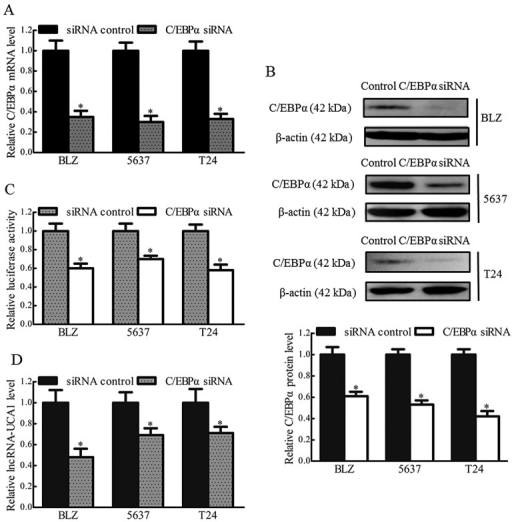 C/EBPα binds to the core promoter regions of lncRNA-UCA1 and regulates its expression. (A and B) Knockdown efficiency of C/EBPα siRNA was determined by real-time PCR and western blotting. β-actin was used as the internal control (*P<0.05; n=3). (C and D) The effects of C/EBPα silencing on the lncRNA-UCA1 promoter activity and expression were detected by luciferase assay and real-time PCR. β-actin was used as the internal control (*P<0.05; n=3).