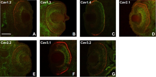Coexpression patterns of xVGlut1 and VGCC α1 subunits in the retina of Xenopus laevis swimming tadpole embryos. VGCC subunit expression is labeled with fluorescein (green), and xVGlut1 expression is labeled with Cy3 (red). Coexpression is indicated by the yellow overlap of both channels. A–G: xVGlut1 coexpression with (A) Cav1.2, (B) Cav1.3, (C) Cav1.4, (D) Cav2.1, (E) Cav2.2, (F) Cav3.1, and (G) Cav3.2. For the assistance of color-blind readers, a magenta–green copy of this figure is provided as Supplementary Figure 2. Scale bar = 250 μm in A (applies to A–G).